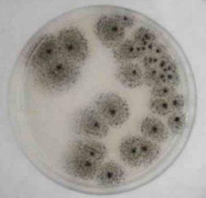 mold growing in a petri dish